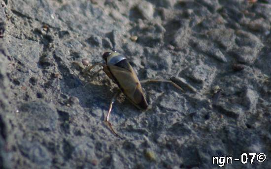 Allmän Ryggsimmare (Notonecta glauca) ©NGN-foto