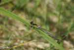 Flickslända (Erythromma najas)