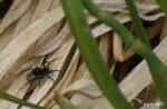 Spindel (Vargspindel?)