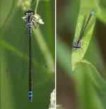 Flickslända, hona (Coenagrion pulchellum(?) eller Enallagma cythigerum)