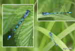 Flickslända, hane (Coenagrion pulchellum(?) eller Enallagma cythigerum)