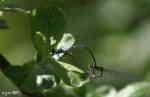 Flicksländor (Coenagrion lunulatum)