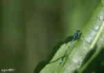 Flickslända, hane (Coenagrion pulchellum eller Enallagma cythigerum)