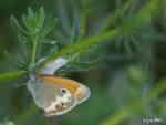 Pärlsgräsfjäril (Coenonympha arcania)