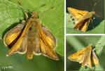 Hona av Mindre tåtelsmygare (Thymelicus lineola) eller en hane av Silversmygare (Hesperia comma)