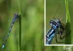 Flickslända med byte (Coenagrion pulchellum eller Enallagma cythigerum)