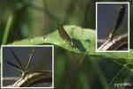 Jungfruslända (Calopteryx virgo eller C. splendes)