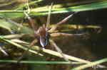 Vanlig Kärrspindel (Dolomedes fimbriatus)