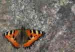 Nässelfjäril (Aglais articae)