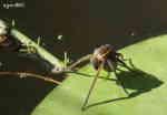 Vanlig Kärrspindel (Dolomedes fimbriatus), med äggkokong