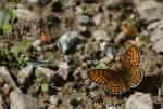 Skogsnätfjäril (Melitaea athhlia)