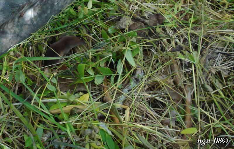 Näbbmus (Sorex araneus)