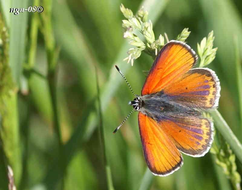 Violettkantad guldvinge (Lycaena hippothoe), hane