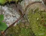 Daggmask (Lumbricus rubellus)
