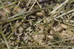 Svartmyror (Lasius niger) och ägg