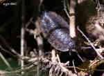 Källargråsugga (Porcellio scaber)