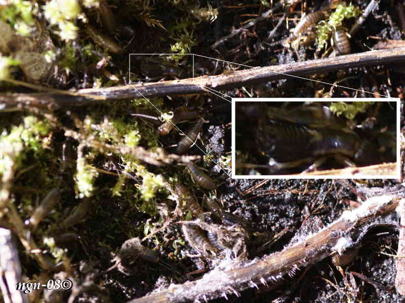 Tvestjärtar (Forficula auricularia)