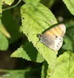 Pärlgräsfjäril (Coenonympa arcania)