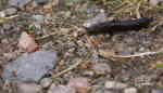 Svart Skogssnigel (Arion ater)