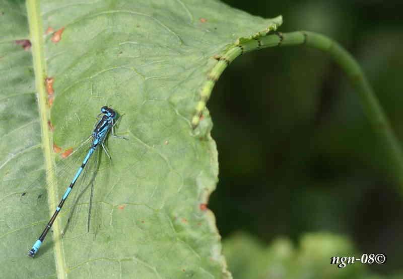 Blå Flickslända (Coenagrion puella) eller (Coenagrion pulchellum)