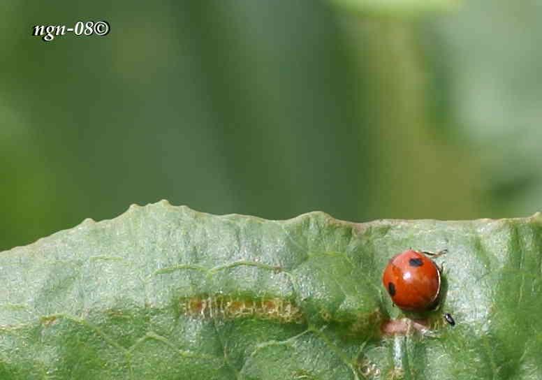 Tvåprickig nyckelpiga (Adalia bipunctata)