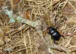 Skogstordyvel (Geotrupes stercorosus)