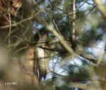 Gröngöling (Picus viridis)