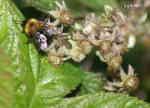 Hushumla (Bombus hypnorum)