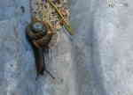 Vinbergssnäcka (Helix pomatia)