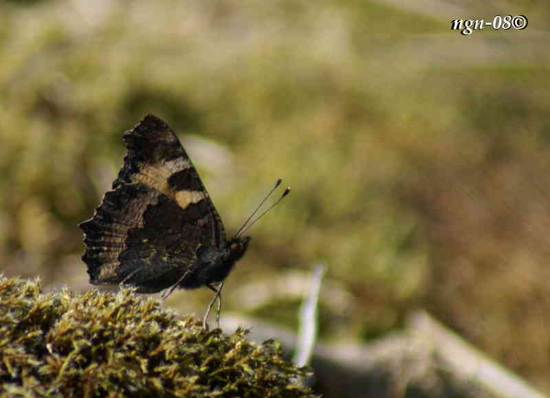 Nässelfjäril (Aglais urticae)