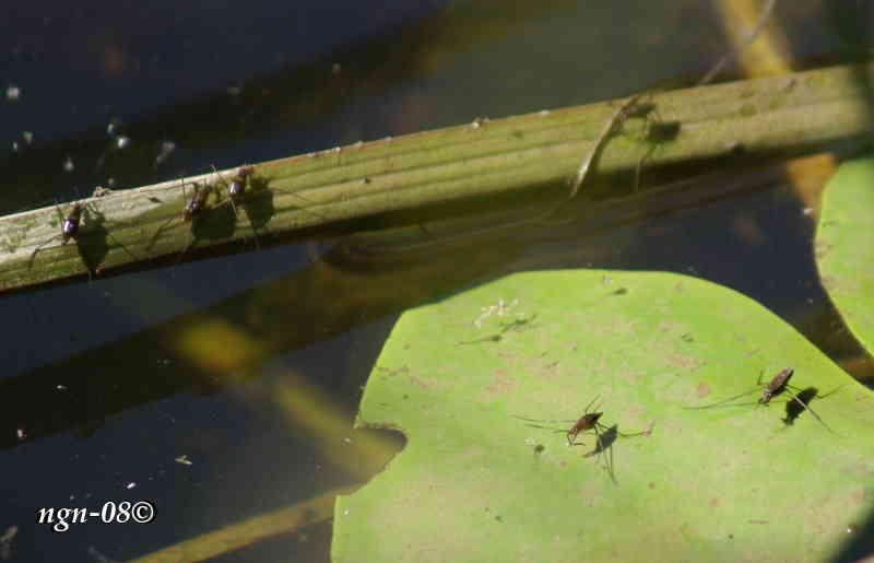 Skräddare (Gerris lacustris)