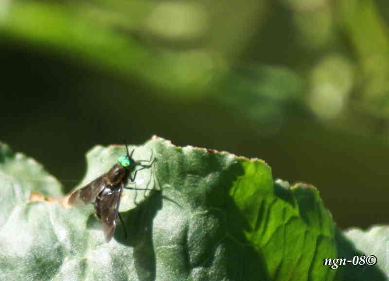 Broms eller Blinning (Familj: Tabanidae)