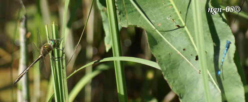 Glanstrollslända (Somatochlora artica), hane och suddig Blå Flickslända (Familj: Coenagrionidae)