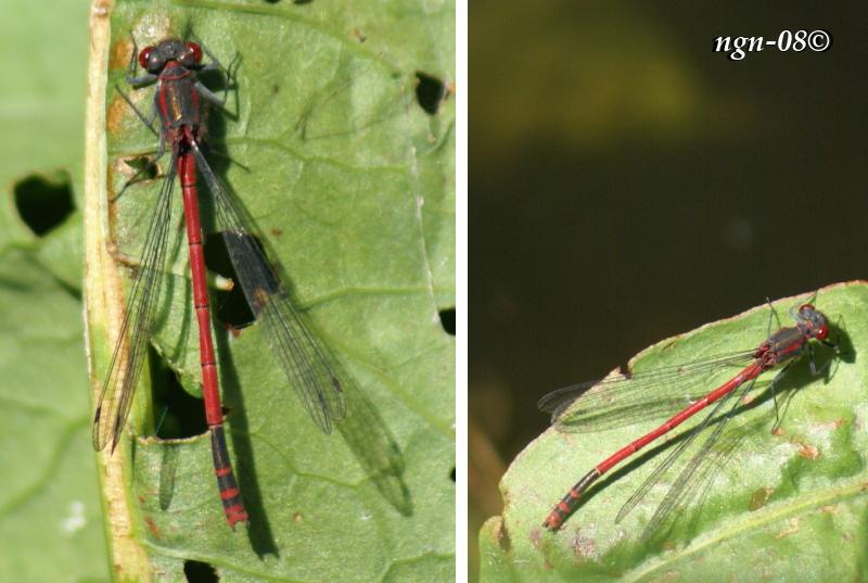 Röd Flickslända (Pyrrhosoma nymphula)