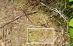 Kopparödlor (Anguis fragilis)
