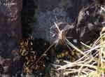 Hornlocke (Phalangium opillio)