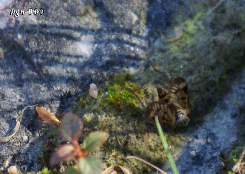 Snäppfluga (Rhagia Scolopaceus)
