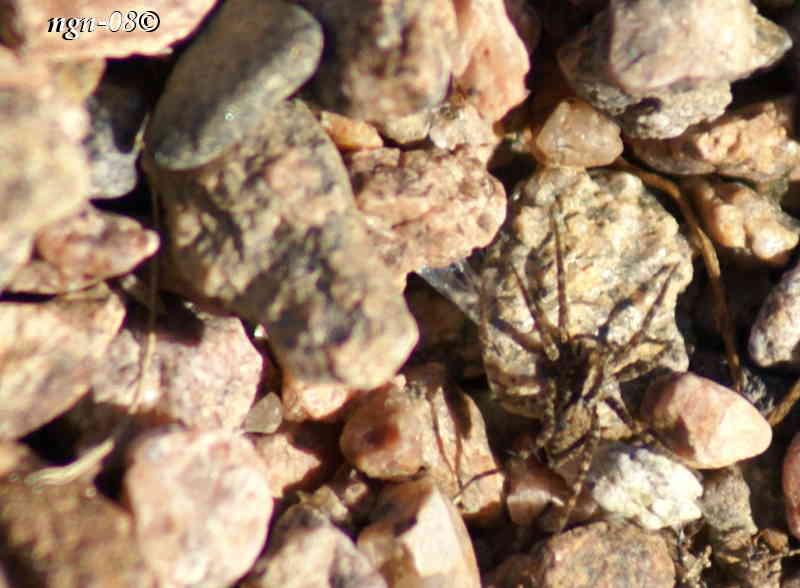 Ängsvargsspindel (Pardosa amentata)