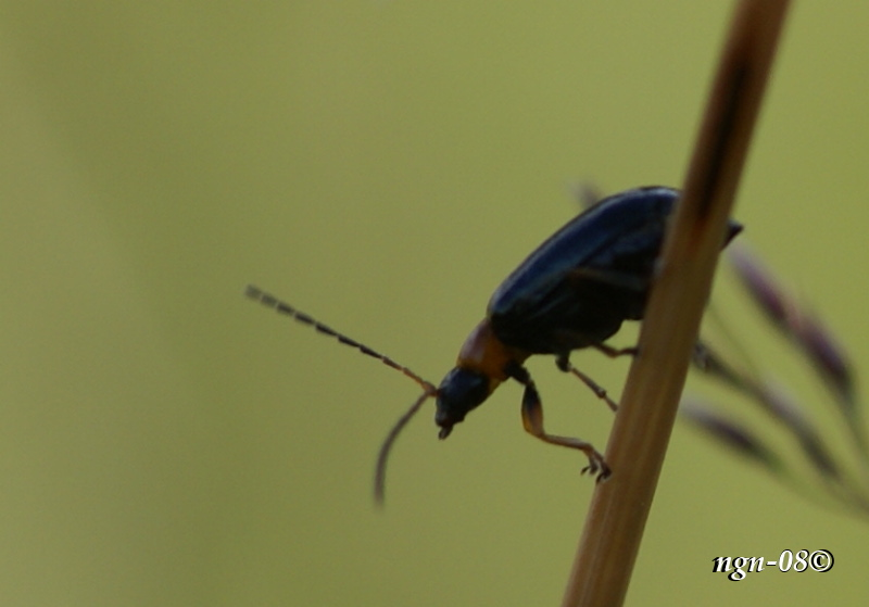 Skalbagge (Familj: Cantharidae?)