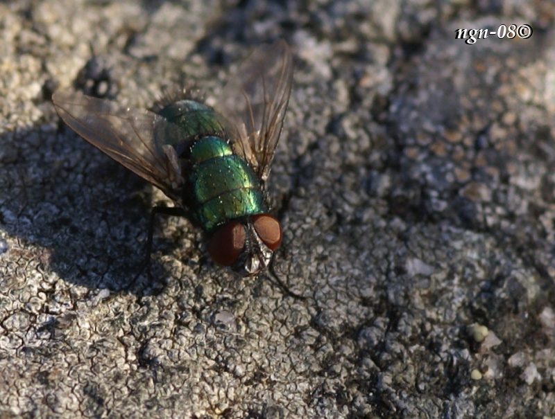 Guldfluga (Lucilia sericata)