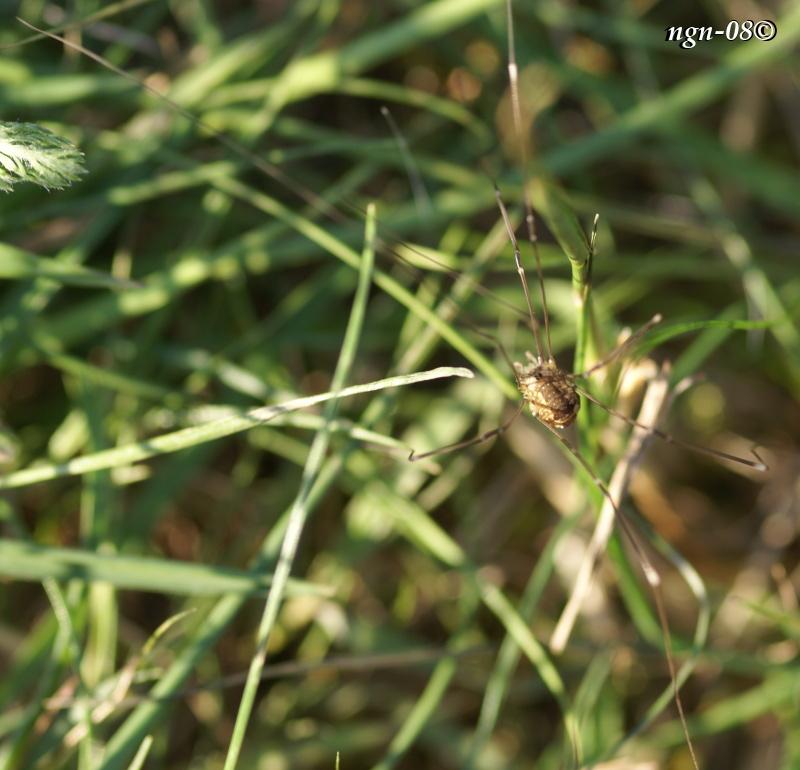 Sannolikt en Vanlig långbenslocke (Leiobonum rotundum)