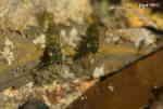Tångräkor (Palaemon squilla)