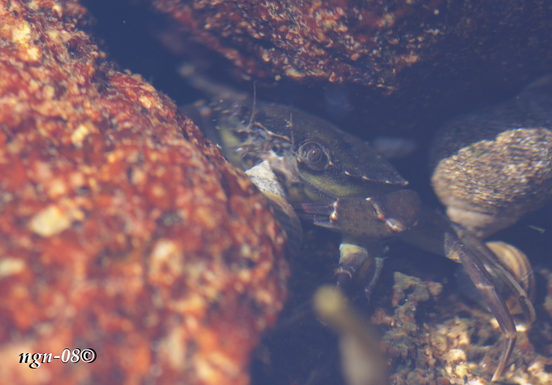 Strandkrabba (Carcinus maenas)