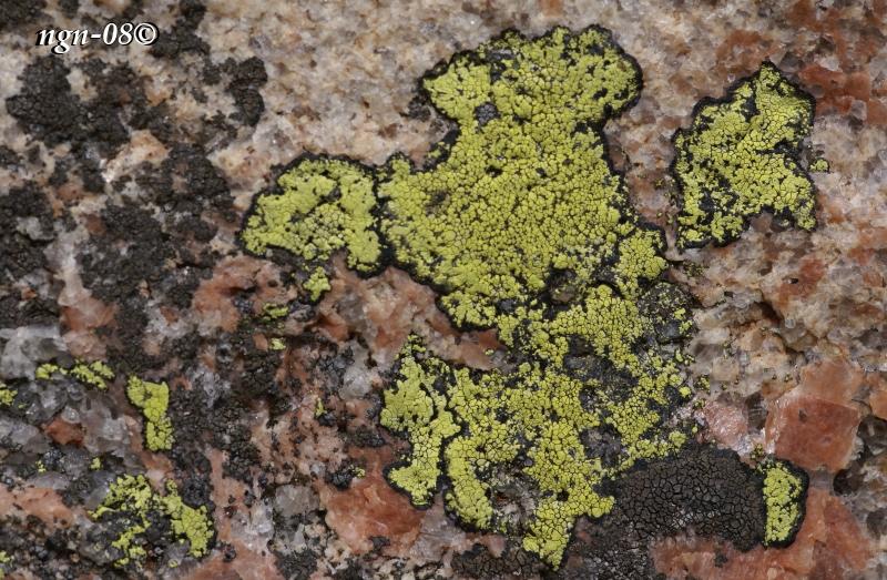 Kartlav (Rhizocarpon geographicum)