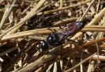 En svårfotad fluga/Stekel