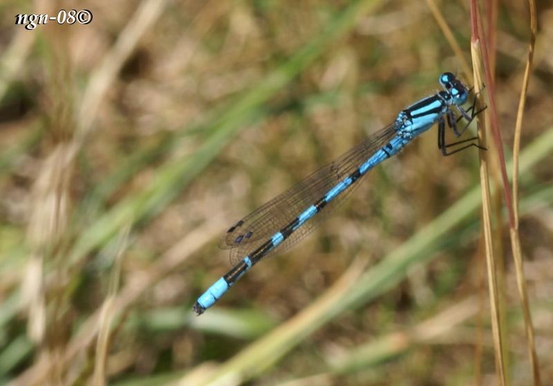 Blå Flickslända (Familj: Coenagrionidae)