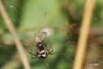 Korsspindel eller Klotspindel (Araneus diadematus respektive Familj: Theridiidae)