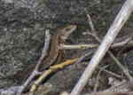Skogsödlor (Lacerta vivipara)