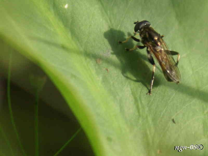 Fluga (Xylota segnis)