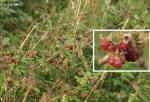 Hallon (Rubus fructicosus)
